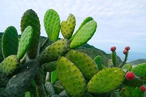opuncja kaktus