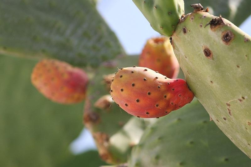 roślina kaktus opuncja